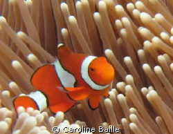 clown fish in is anemone by Caroline Baille