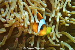 Red Sea Clown Fish at Home - Canon PowerShot G12, ISO 125... by Dawn Thomas