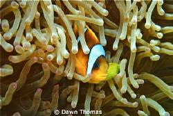 Red Sea Clown Fish at Home - Canon PowerShot G12, ISO 125... by Dawn Thomas