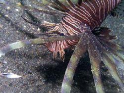 Lionfish. Lembeh Straits Olympus C-5050 by Erika Antoniazzo