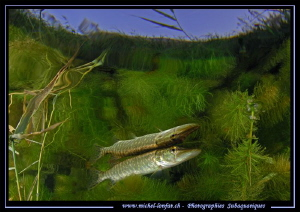 Young Pike Fish Reflection II.... by Michel Lonfat