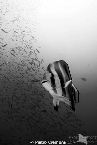 Batfish by Pietro Cremone