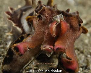 Flamboyant Cuttlefish by Suzan Meldonian