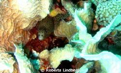 Goldentail moray eel by Roberta Lindberg