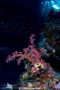 Soft coral in cave by Pietro Cremone