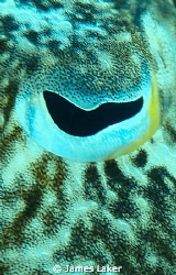 Cuttlefish eye close up by James Laker