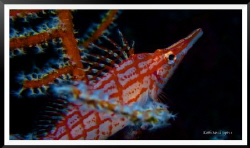 Long Nose Hawkfish. by Keith Savill