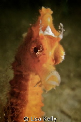 Splendid seahorse! To me, it appears she is wearing a crown. by Lisa Kelly