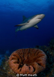 Reef Shark by Matt Heath