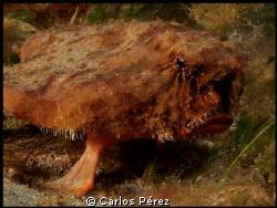 The Bat Fish Potrait.. by Carlos Pérez