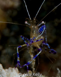 Cleaner shrimp--open for business. by Lisa Kelly