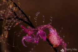 Pink Skeleton Shrimp @ Tulamben by Sherry Hsu