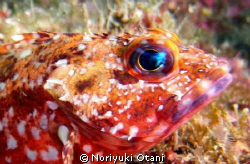 Face of a Scorpion fish. at Owase, Mie, Japan by Noriyuki Otani