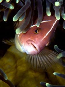 Pink Anemonefish by Iyad Suleyman