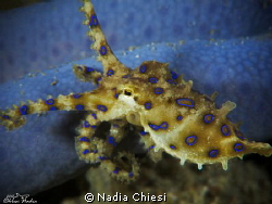 Octopus Blue Ring  by Nadia Chiesi