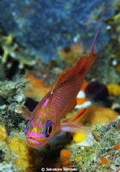 Piccolo anthias by Salvatore Ianniello