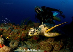 My lovely girlfriend appreciating this hawksbill turtle. by Matt Heath