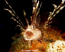 Lionfish by Jurgen Pesch