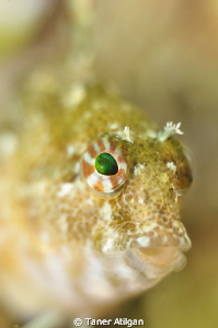 Little Blenny by Taner Atilgan