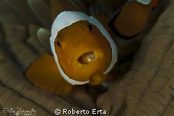 Clown Fish with parasite by Roberto Erta