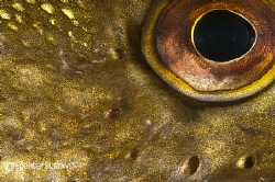 This is the eye of a Pike. by Spencer Burrows
