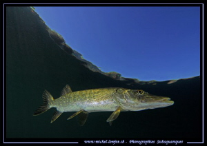 Young Pike Fish flirting with the sky... :O)... by Michel Lonfat