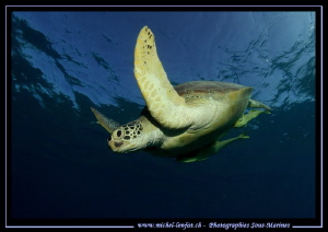 Green Turtle coming back down... :O).. by Michel Lonfat