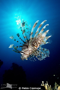 Lionfish in the sun by Pietro Cremone