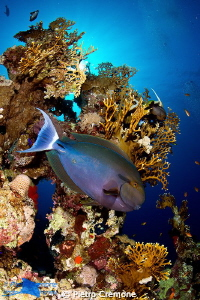 Surgeonfish and corals by Pietro Cremone