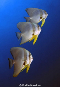 Batfish,nikon d2x 12-24mm by Puddu Massimo