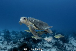Remoras looking for a free ride by Lisa Kelly