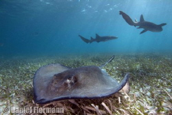 sting ray with nurse shark backround by Daniel Flormann