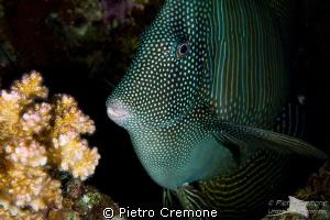 Surgeonfish by Pietro Cremone