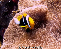 anemone fish in his anemone by Caroline Baille