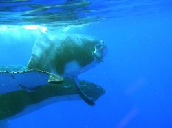 Female humpback and calf, shot snorneling in Vava'u, King... by Don Bruschera