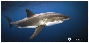 Meet Moo!!!, This 4+ Metre male Great White shark has ret... by Sam Cahir