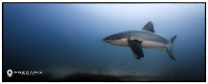 Majesty - This shot shows a female white shark showing do... by Sam Cahir