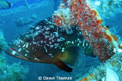 Grouper on the Zenobia Wreck, Larnaca, Cyprus. Canon Powe... by Dawn Thomas