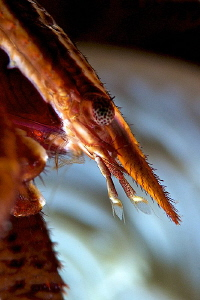 Crinoid squat lobster in details... by Iyad Suleyman