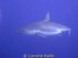 pregnant female Grey Reef Shark by Caroline Baille