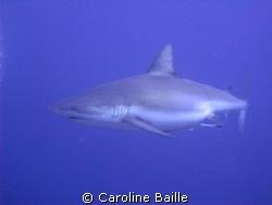 pregnant female Grey Reef Shark by Caroline Baille