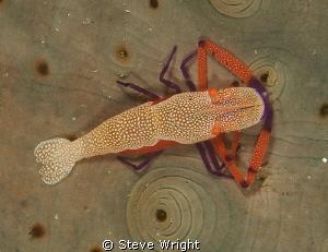 Emperor Shrimp, 50mm macro with 1x4 teleconverter f22 1/1... by Steve Wright