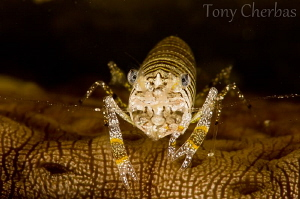 Bee of the Sea: Bumblebee Shrimp on a Sea Cucumber by Tony Cherbas
