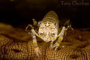 Bee of the Sea: Bumblebee Shrimp on a Sea Cucumber by Tony Cherbas