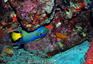 Queen of the reef. Island of Saba. by Alex Klingen