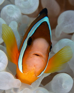 Anemonefish by Iyad Suleyman