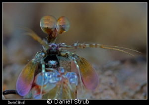 Boxing mantis shrimp :-D by Daniel Strub
