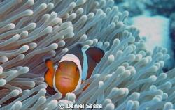 Nemo, Amphiprion Occelaris or False Clownfish, Picture wa... by Daniel Sasse
