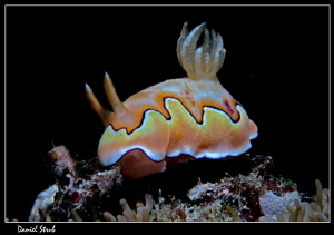 Chromodoris coi :-D by Daniel Strub