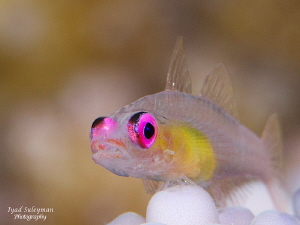 Purple-eyed Goby by Iyad Suleyman